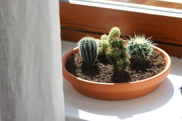 kaktusar
