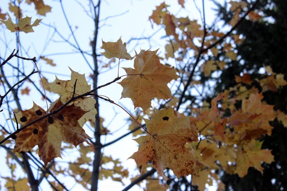 löven